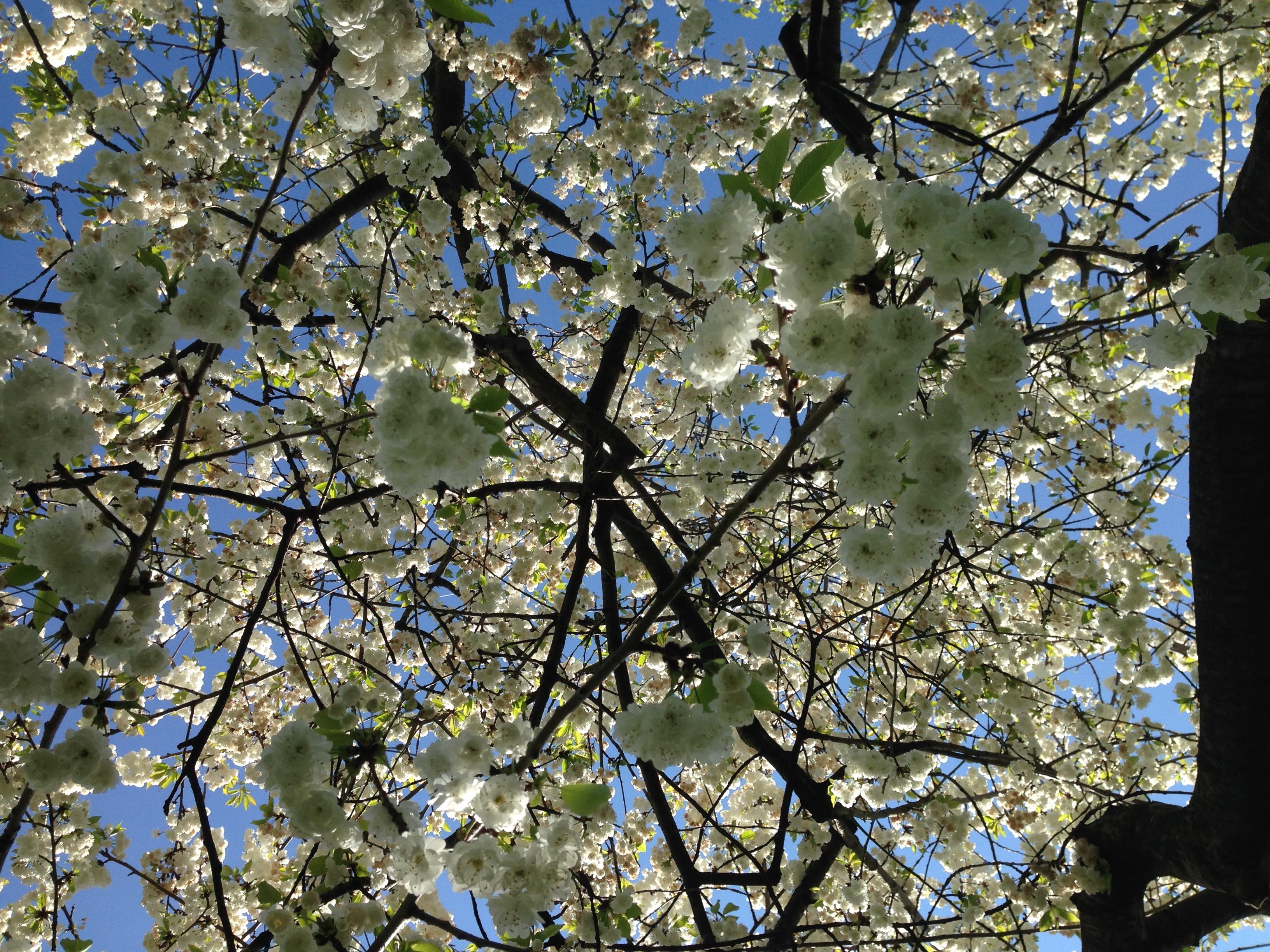Spring-cherry-blossom