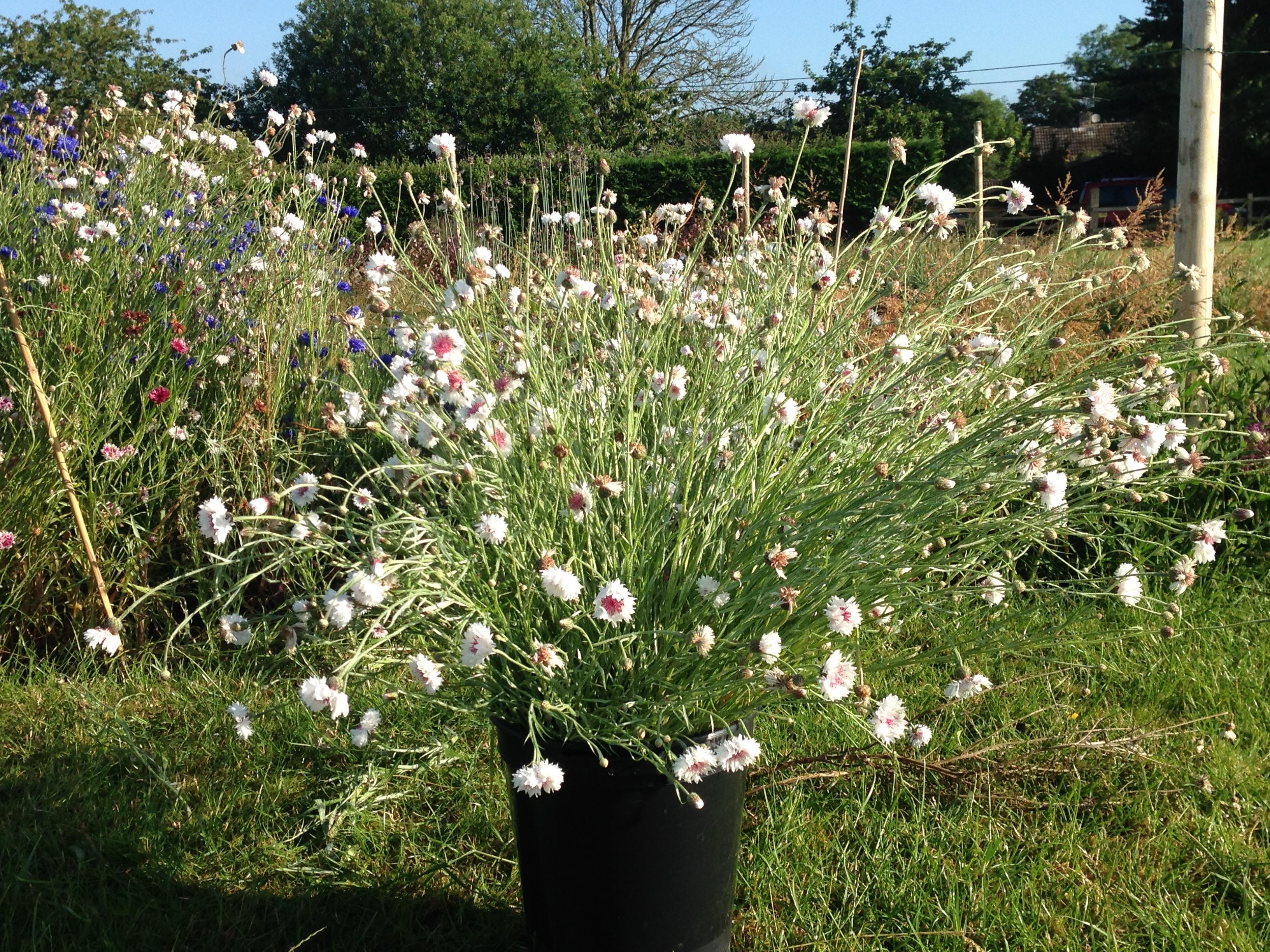 Summer-cornflower-bucket