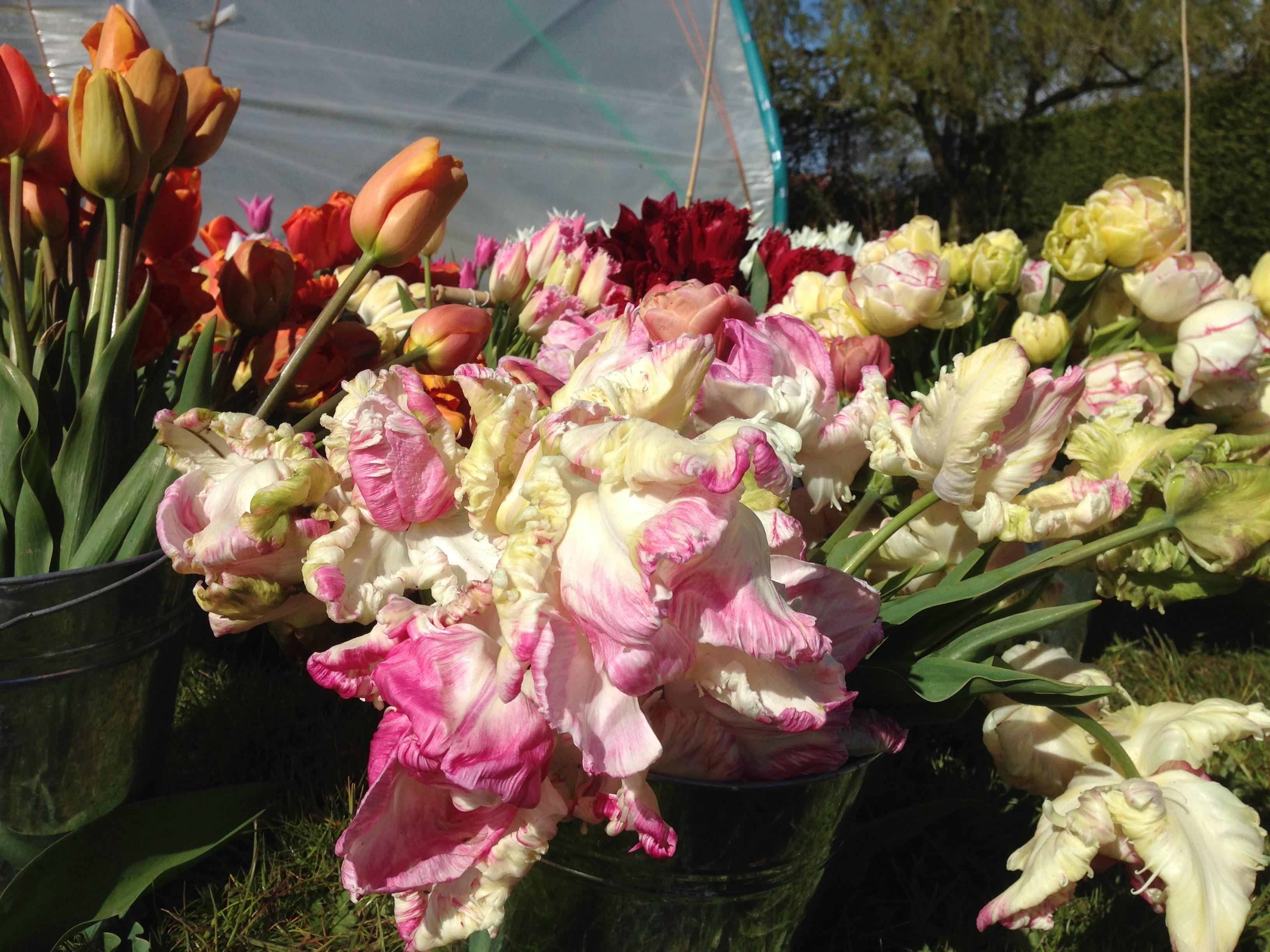 spring-flowers-tulips