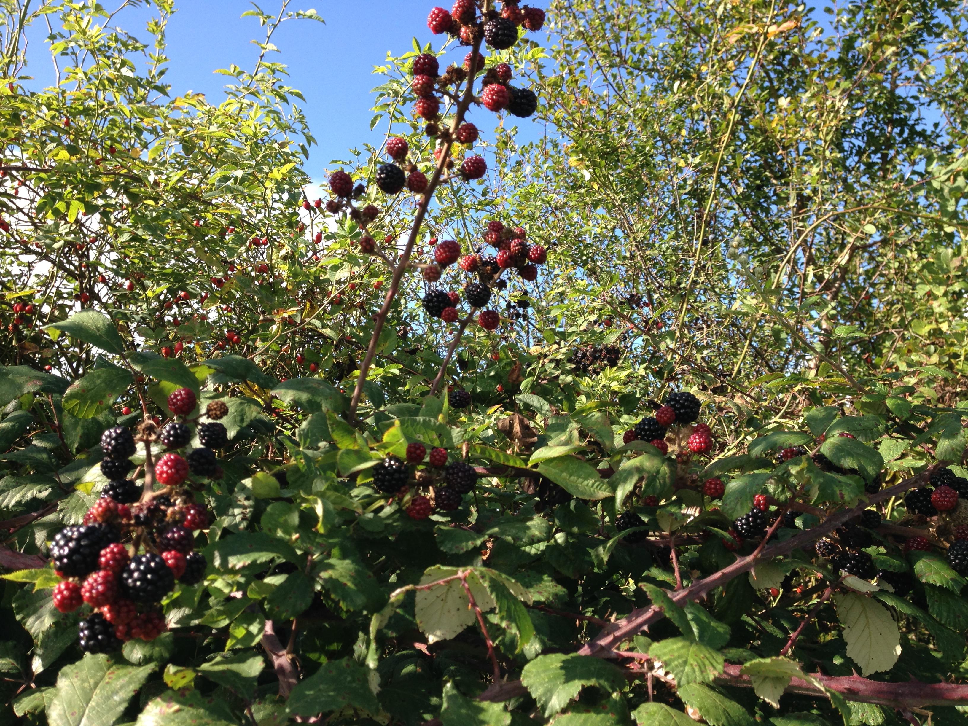 Autumn-blackberries