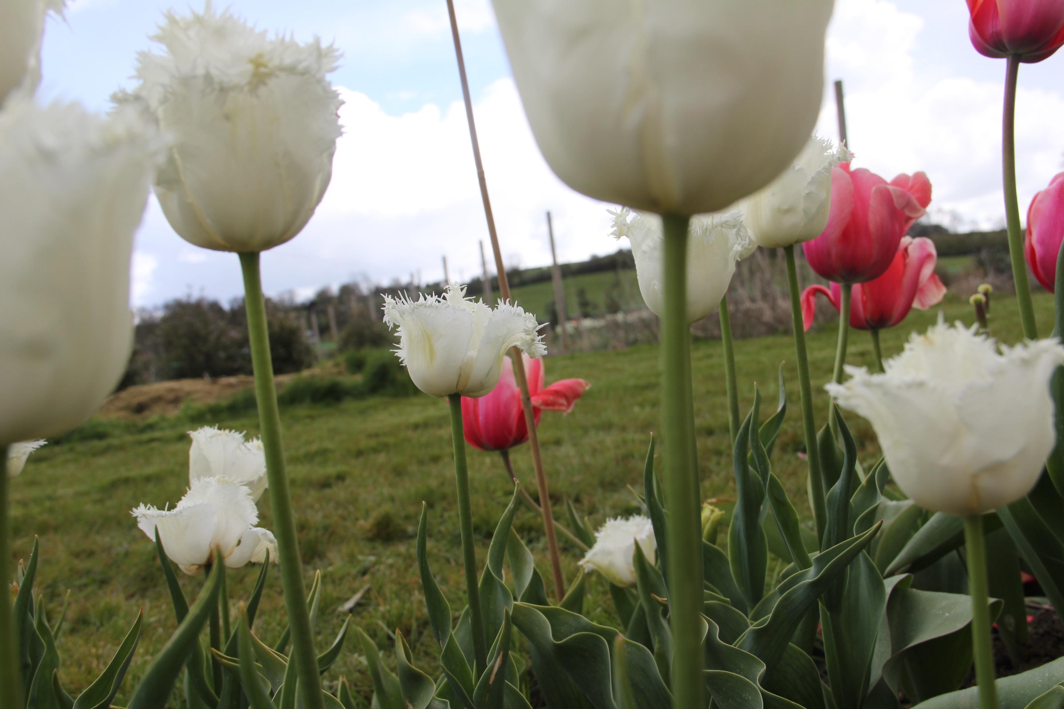 Spring-Swan-Wings-Tulip